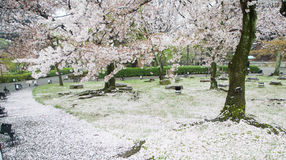 Cherry Blossom Season Fotografia de Stock Royalty Free