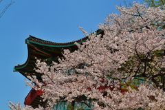 Cherry Blossom Season avec le bâtiment asiatique photo libre de droits