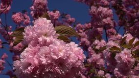 Cherry blossom season. Everlasting spring. Close-up of cherry blossoms flower viewing. stock video