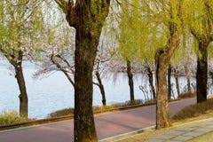 Cherry Blossom Season in korea. Cherry Blossom Season flower at bomun lake Stock Images