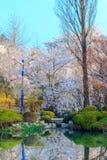 Cherry Blossom Season in korea. Cherry Blossom Season flower with sky Stock Image