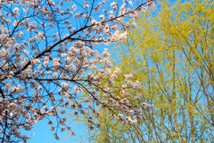 Cherry Blossom Season in korea. Cherry Blossom Season flower with sky Royalty Free Stock Image