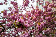 The Cherry Blossom season in Frankfurt stock images