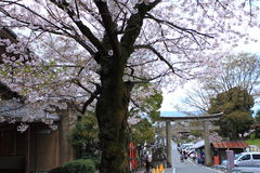 Cherry Blossom Season japan Stock Afbeelding