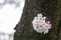 Cherry Blossom season in Japan, Sakura flowers. Stock Photo