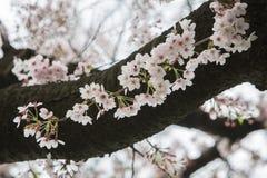 Cherry Blossom season in Japan, Sakura flowers. Stock Photography