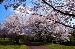 Cherry blossom season/Japanese spring. Cherry blossoms are beautiful flowers representing Japan. When spring comes, a lot of people from abroad visit Japan and stock photos