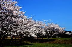 Cherry blossom season/Japanese spring. Cherry blossoms are beautiful flowers representing Japan. When spring comes, a lot of people from abroad visit Japan and stock photo