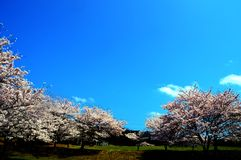 Cherry blossom season/Japanese spring. Cherry blossoms are beautiful flowers representing Japan. When spring comes, a lot of people from abroad visit Japan and Stock Image
