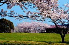 Cherry blossom season/Japanese spring. Cherry blossoms are beautiful flowers representing Japan. When spring comes, a lot of people from abroad visit Japan and Royalty Free Stock Image