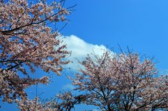 Cherry blossom season/Japanese spring. Cherry blossoms are beautiful flowers representing Japan. When spring comes, a lot of people from abroad visit Japan and Royalty Free Stock Photography