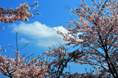 Cherry blossom season/Japanese spring. Cherry blossoms are beautiful flowers representing Japan. When spring comes, a lot of people from abroad visit Japan and stock images