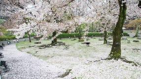 Cherry blossom season Royalty Free Stock Photography