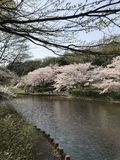 Cherry blossom season, a symbol of Japanese culture.