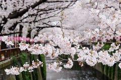 Cherry blossom season Stock Photo