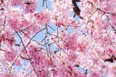 Cherry blossom season Stock Photos