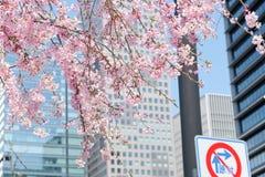 Cherry blossom season Royalty Free Stock Image