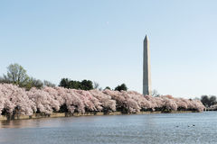 Cherry blossom season of Washington DC. Cherry blossom in Washington DC Royalty Free Stock Photos