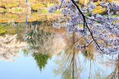 Cherry Blossom Season. With water reflection Stock Photos