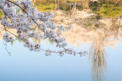 Cherry Blossom Season. With water reflection Royalty Free Stock Image
