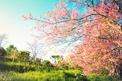 In bloom cherry blossom seasonal scene nature background Royalty Free Stock Images