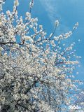 Cherry Blossom. In Seine and Marne spring 2016 Stock Image