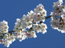 Cherry Blossom (selective focus) Stock Photo