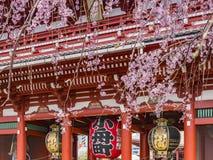 Cherry Blossom at Senso-ji Temple, Tokyo royalty free stock photo