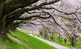 Cherry blossom at Sewari river bank, Kyoto, Japan Royalty Free Stock Photography