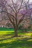 Cherry Blossom Shade Tree Stock Image