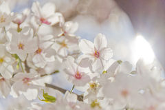 Cherry blossom. Shining cherry blossom in spring royalty free stock photos