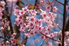 Cherry Blossom siamés Foto de archivo libre de regalías
