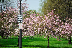 Cherry blossom and signs Royalty Free Stock Photography