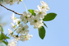 Cherry blossom and sky Royalty Free Stock Photography