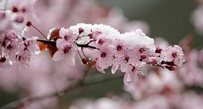 Cherry Blossom and Snow 1 Royalty Free Stock Image