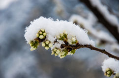 Cherry blossom of snow. After a light Snow White snow cover on the flowering cherry blossom buds Stock Image
