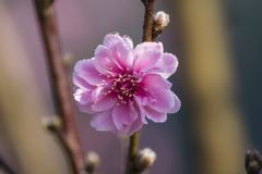 Close up Peach Blossoms Stock Photography
