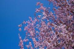 Cherry Blossom with Soft focus, Sakura season in korea,Background stock image