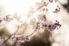 Cherry Blossom with Soft focus, Sakura season in Moscow, Background Royalty Free Stock Image