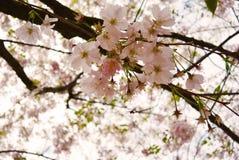 Cherry Blossom Soft Focus Texture blurebakgrund Royaltyfri Fotografi