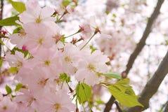 Cherry Blossom Soft Focus Texture blurebakgrund Arkivfoto