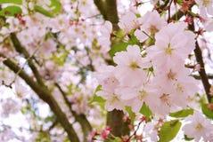 Cherry Blossom Soft Focus Texture blurebakgrund Fotografering för Bildbyråer