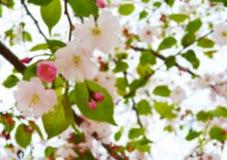Cherry Blossom Soft Focus Texture blurebakgrund Royaltyfria Bilder