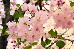 Cherry Blossom Soft Focus Texture blurebakgrund Arkivbild