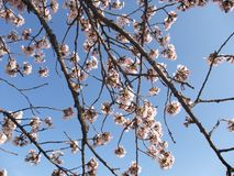 Cherry blossom. Some branches with cherry blossom in spring in Japan Stock Photography