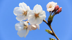 Cherry blossom. Some cherry blossom in a sunny day Royalty Free Stock Image