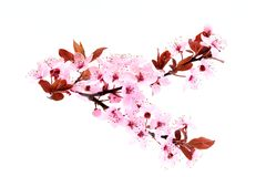Cherry Blossom source rose de fleurs photos libres de droits