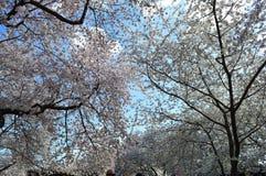 Cherry Blossom Spectacular av Washington D C arkivbild