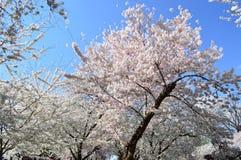 Cherry Blossom Spectacular av Washington D C royaltyfri bild