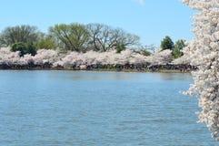 Cherry Blossom Spectacular av Washington D C fotografering för bildbyråer